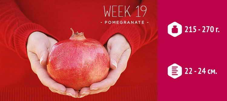 живот на 19 неделе беременности