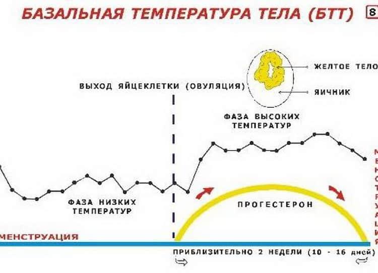 Все о том как проходит измерение базальной температуры