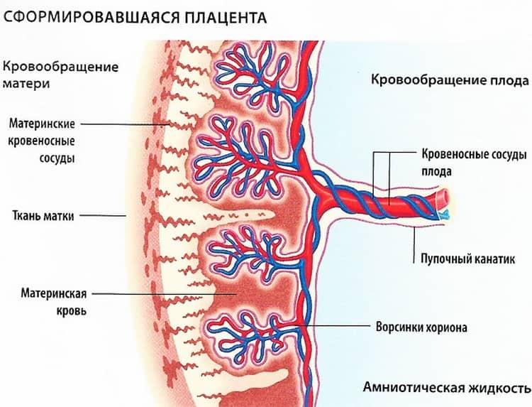 Что будет если плацента находится по передней стенке