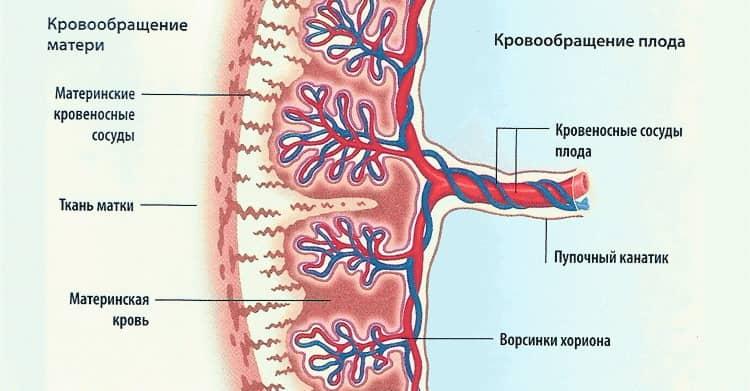 Когда у человека полностью заканчивается формирование плаценты
