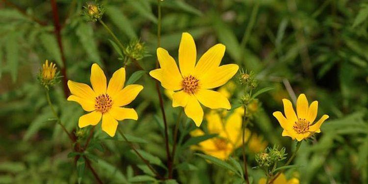 растение обладает рядом полезных свойств, редко вызывает аллергию.