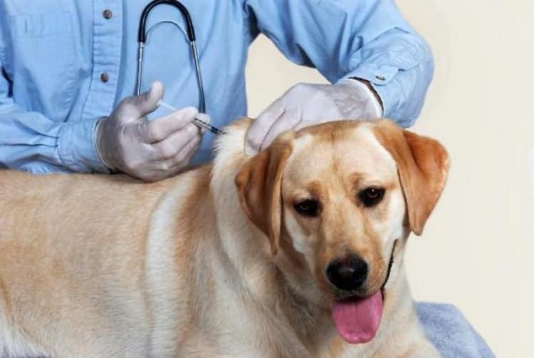 Прививка против бешенства рекомендуется в обязательном порядке для домашних животных, чтобы уберечь и их, и их хозяев.