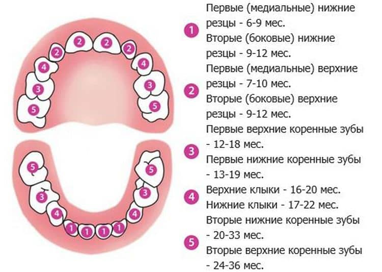 На схеме видно, какие зубы лезут первыми у грудничков.