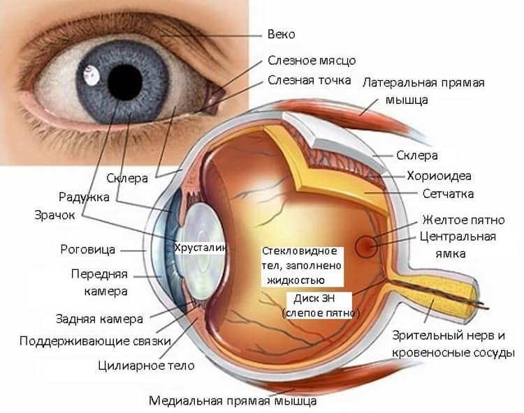Хотя глаза у новорожденных устроены точно так же, как и у взрослых, все же они еще не до конца развиты.